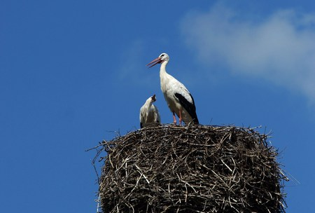 brooding: White storks in their nest