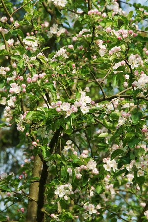 windfalls: Organic apple tree with blossoms