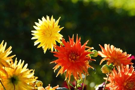 Beautiful Dahlias Stock Photo