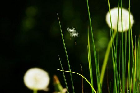 hayfever: Dandelion