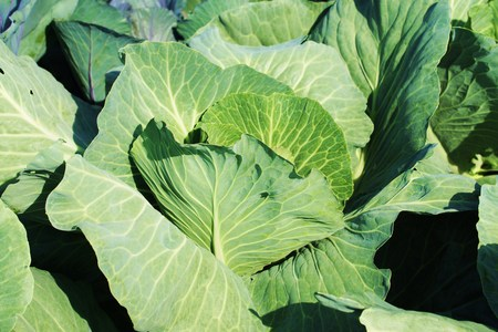 cabbage patch: Large organic cabbages in a cabbage field