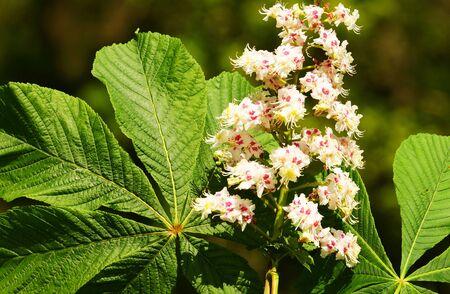 chestnut tree: Beautiful large flower of a chestnut tree