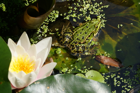 insectivores: Frog in a pond Stock Photo