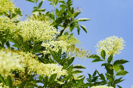 elder tree: Elderberry blossom under blue sky Stock Photo