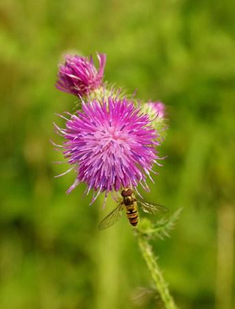 mimicry: Volucella zonaria on a thistle Stock Photo