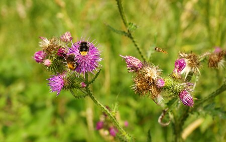 mimicry: Bumblebees on a thistle Stock Photo