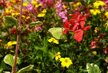 gonepteryx rhamni: Beautiful brimstone butterfly on a flower Stock Photo