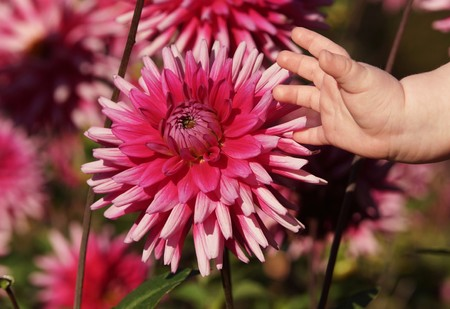 motherly love: Cute baby hand and beautiful dahlias Stock Photo