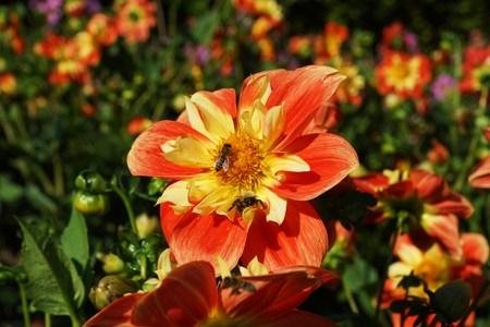 honeybee: Honeybee in a dahlia flower