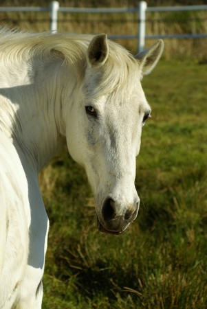 hoofed animals: Beautiful horse on a paddock in summer Stock Photo