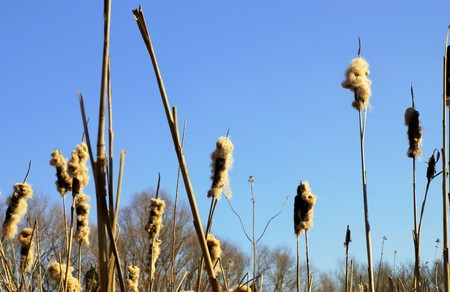 broadleaf: A lot of reed in a pond in March