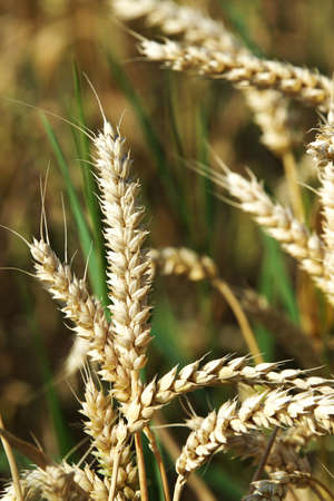 genetically engineered: Closeup of a panicle in a grain field