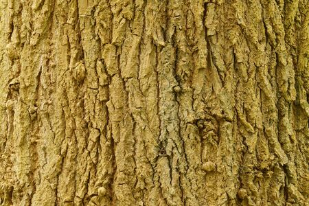 extent: Bark of a lime tree