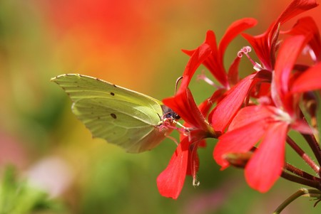 gonepteryx rhamni: Beautiful brimstone in a flowering geranium plant