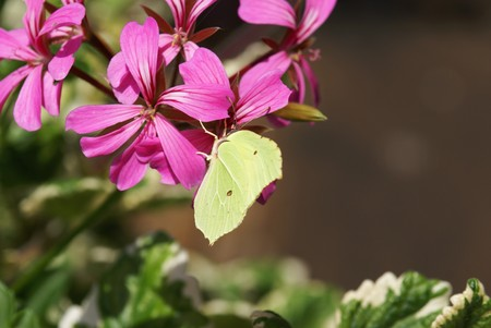 rhamni: Beautiful brimstone in a flowering geranium plant