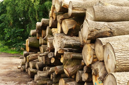 timber harvesting: Large tree trunks in a forest