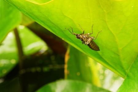 Large larva of king dragonfly