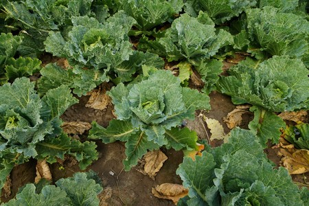 savoy: Vegetable field with savoy cabbage Stock Photo