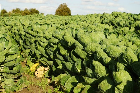 Large vegetable field with brussels sprouts Stock Photo