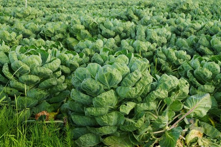 vegetable carbon: Large field with brussels sprouts