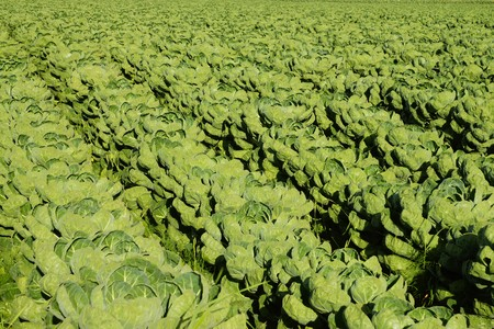 brussels sprouts: Large field with brussels sprouts