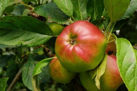windfalls: Organic apples on a tree
