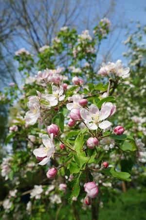 windfalls: Apple blossom in spring on a plantation
