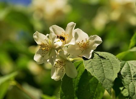 Honey bee on a mock orange blossom