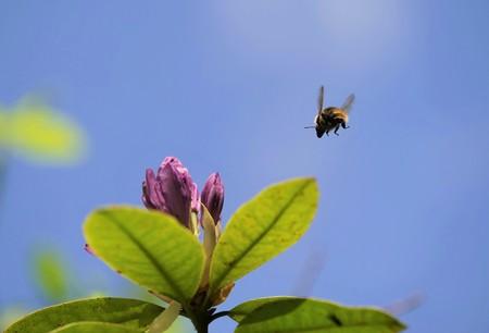 Flying bumblebee under blue sky