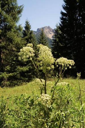 Angelica archangelica in the Tyrolean Alps Stock fotó