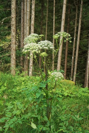 Angelica archangelica in the Tyrolean Alps Stock Photo