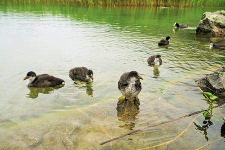 Eurasian coot - Fulica atra in the Tyrolean Alps 版權商用圖片 - 85036186