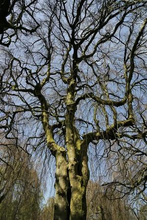 Hanging beech - Fagus sylvatica pendula in a forest Standard-Bild