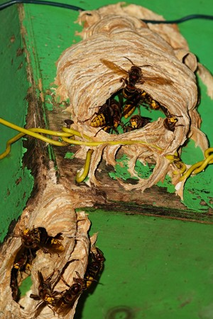 Hornets nest in the summer at a bird house