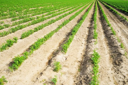 Large vegetable field with carrots in summer Stock Photo