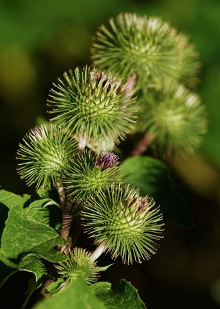 Buds of the great burdock arctium lappa in summer Stock Photo