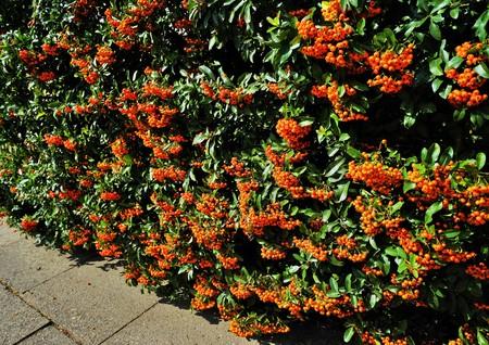 Firethorn Pyracantha coccinea hedge in summer