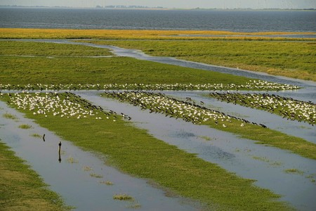 Large swarm of sea birds in the Wadden Sea
