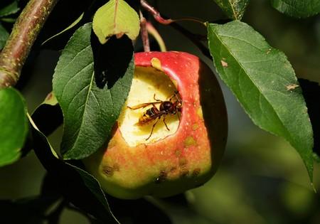 Hornet in a apple tree eats red apple