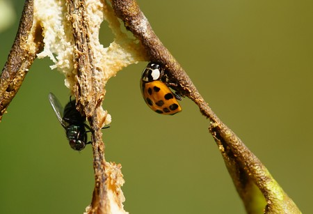 Ladybug and a fly on a pear