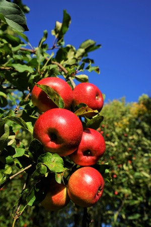 Red organic apples in a apple tree