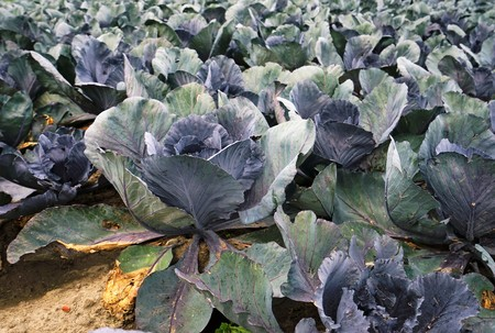 Large vegetable field with red cabbage