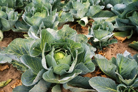 Large vegetable field with white cabbage
