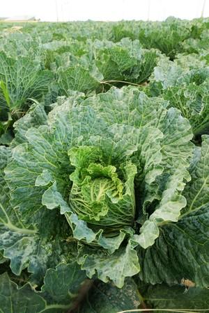 Savoy cabbage Zdjęcie Seryjne