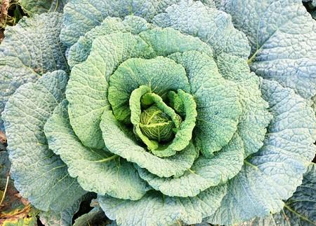 Big savoy cabbage