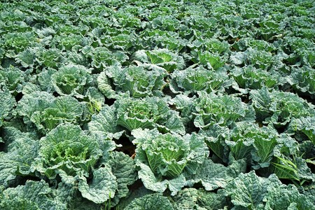Large vegetable field with savoy cabbage