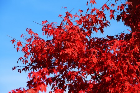 Japanese maple under blue sky 版權商用圖片