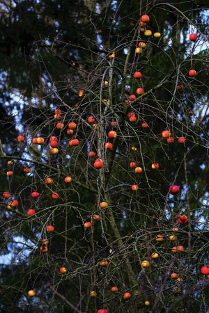 Red organic apples in an apple tree in December Foto de archivo