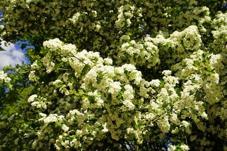 Hawthorn Crataegus monogyna under blue sky