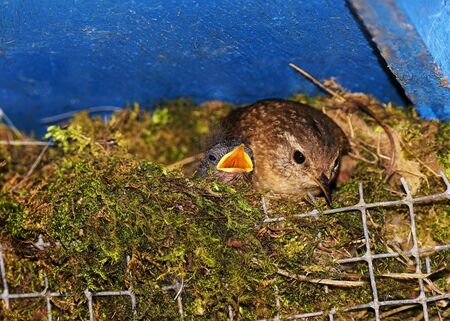 Beautiful wren with chicks in the nest